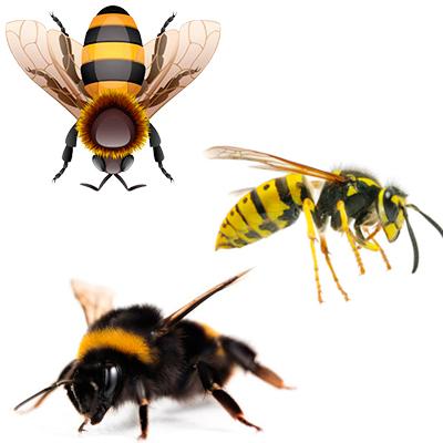 Пчелы, осы, шмели - сообщение доклад