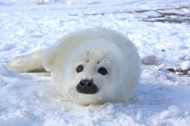 Тюлень - доклад сообщение