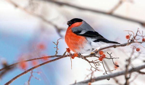 Доклад на тему Снегирь (описание птицы 1. 2, 4, 6 класс сообщение)
