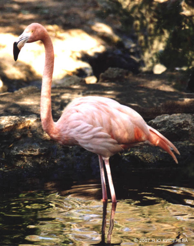 Фламинго - сообщение доклад (3 класс окружающий мир, красная книга)
