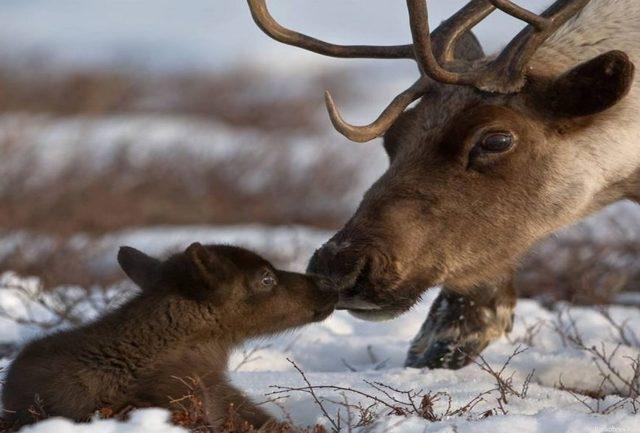 Северный олень - сообщение доклад (2, 3, 4 класс Окружающий мир)
