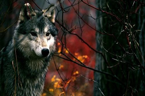 Волк и ягненок - краткое содержание басни Крылова