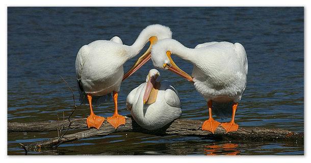 Пеликан - сообщение доклад