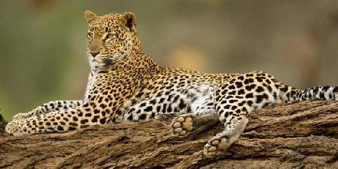 Леопард - сообщение доклад