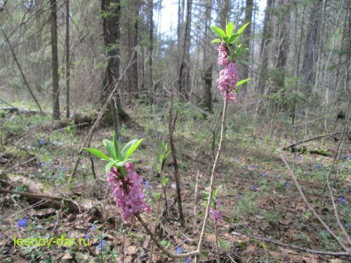 Доклад Волчье лыко - ядовитое растение (3 класс окружающий мир)