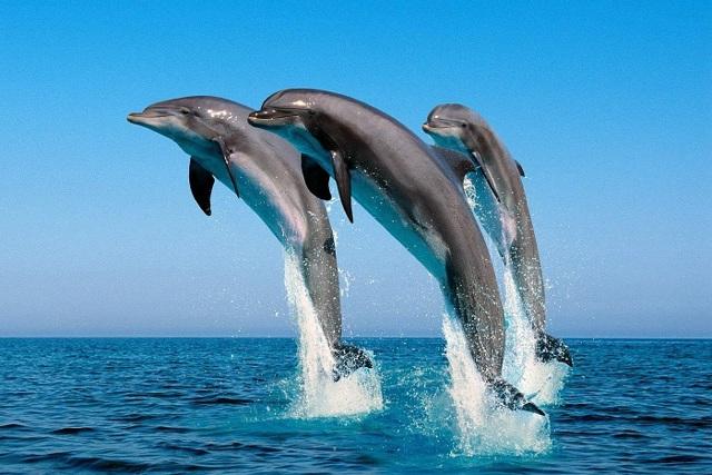 Дельфины - сообщение доклад (2, 4, 5, 7 класс)