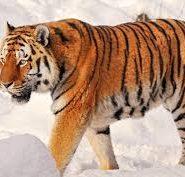 Тигр - доклад сообщение
