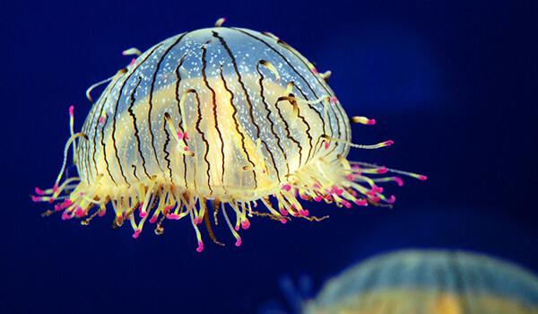 Медузы - доклад сообщение (3, 4, 7 класс, биология, окружающий мир)