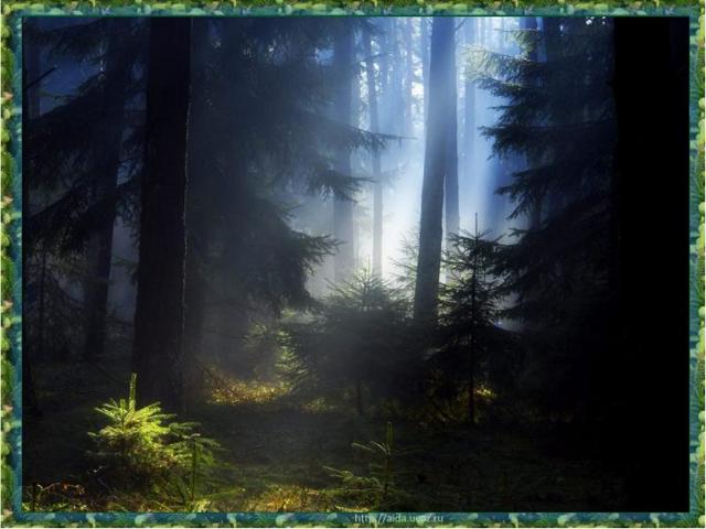 Доклад Хвойные деревья сообщение