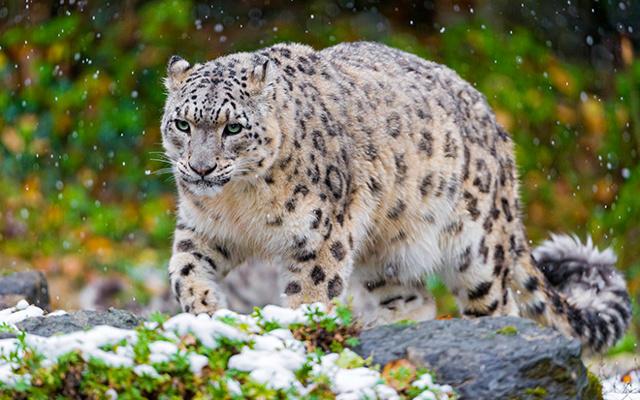 Ирбис (Снежный барс) - сообщение доклад про редкое животное