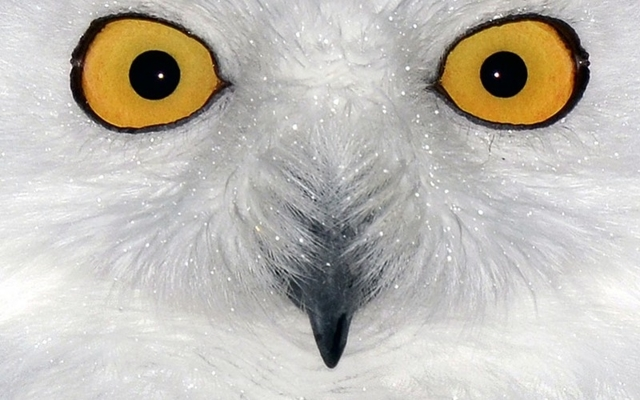 Полярная сова - сообщение доклад