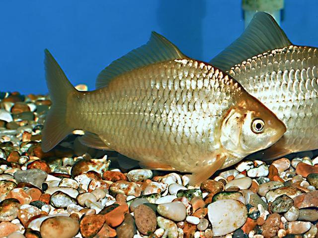 Рыба Карась - сообщение доклад
