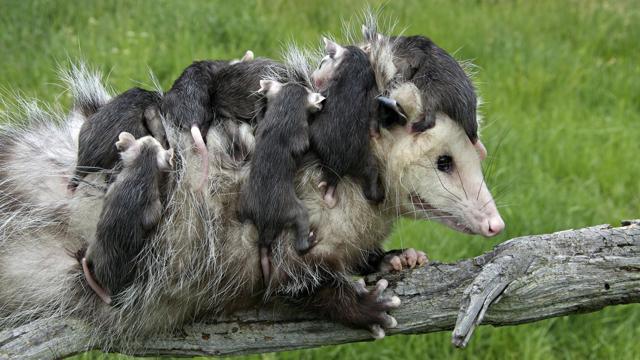 Сумчатые животные - доклад сообщение