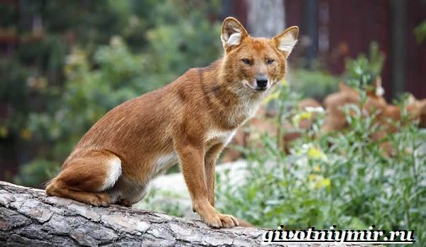 Красный волк - сообщение о редком животном