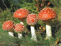 Многообразие грибов в жизни человека и природе доклад сообщение