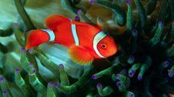 Рыба-клоун доклад сообщение (2, 3. 4, 7 класс)