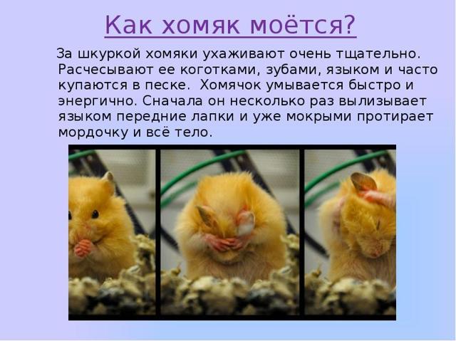 Хомяк - сообщение доклад