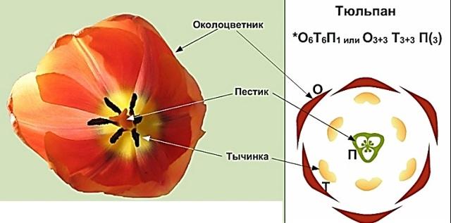 Тюльпан - сообщение доклад (2, 3, 4 класс Окружающий мир)